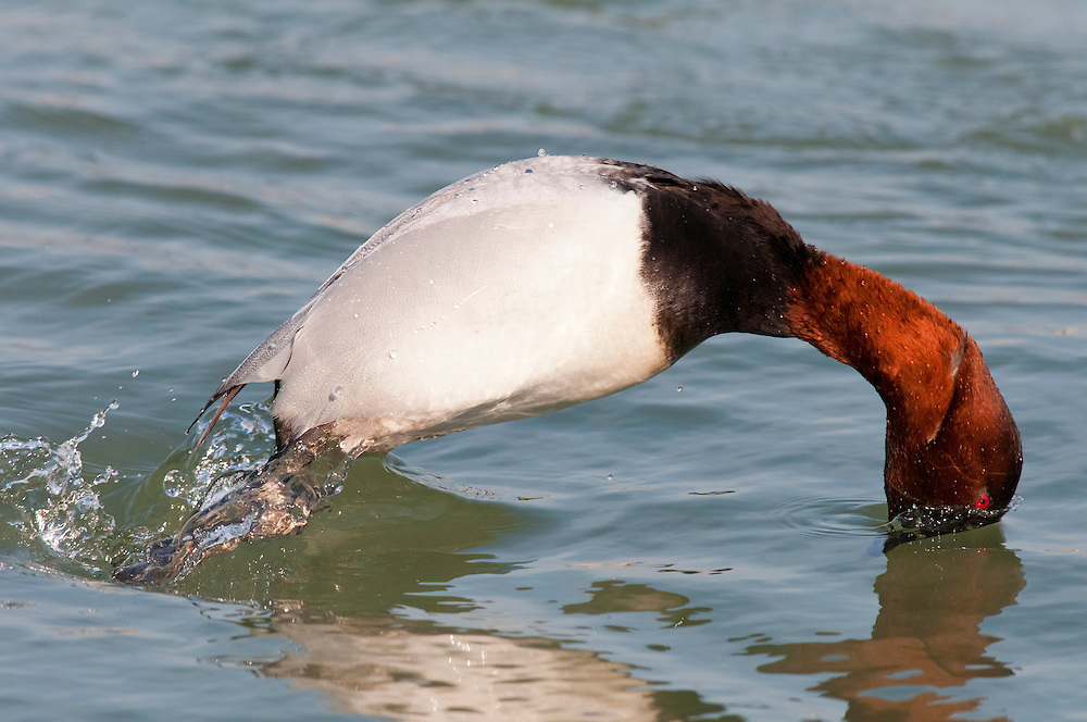 Canvasback; Aythya valisineria, male diving for food, Detroit River, Ontario, Canada