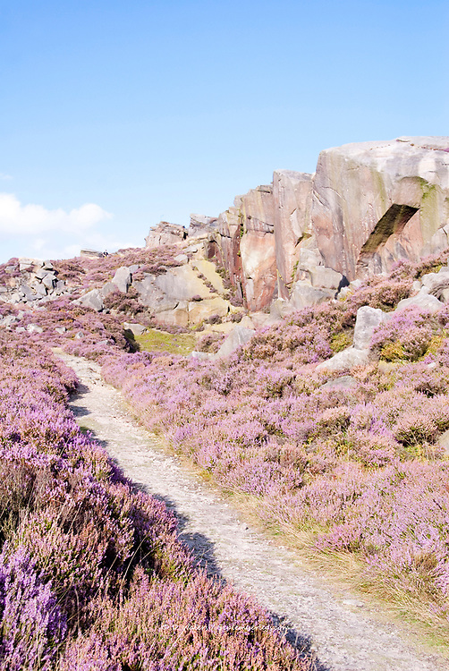 Derbyshire, UK - Aug 2015: Pathway leading up hill through pink heather in flower on 28 Aug at Burbage South Edge, Peak District