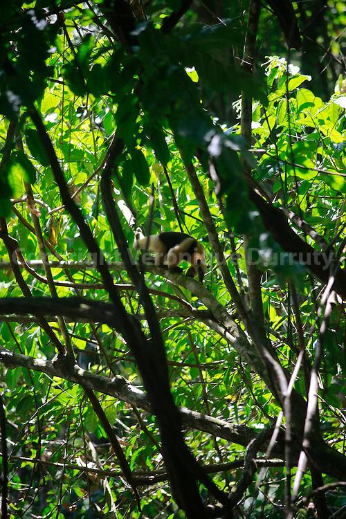 ant-eater, Corcovado National park, Costa Rica // Fourmilier, Parc national Corcovado, Costa Rica. Ce mammif&egrave;re insectivore du Costa Rica mesure environ 1,20 m.<br /> De couleur blanc/beige il poss&egrave;de une zone de couleur brune de chaque c&ocirc;t&eacute; de son corps. Il se nourrit de fourmis  et occasionnellement d&rsquo;abeilles et de col&eacute;opt&egrave;res. il ne consomme pas de termites mais s&rsquo;attaque aux termiti&egrave;res occup&eacute;es par les fourmis, et peut avaler 30 000 fourmis par jour .<br /> sa longue queue pr&eacute;hensile lui permet de grimper aux arbres pour d&eacute;nicher  nids et termiti&egrave;res. Il cree une br&egrave;che dans le nid avec ses griffes et y introduit son museau et sa langue qui peut atteindre 60 cm, la plus longue de tous les mammif&egrave;res.