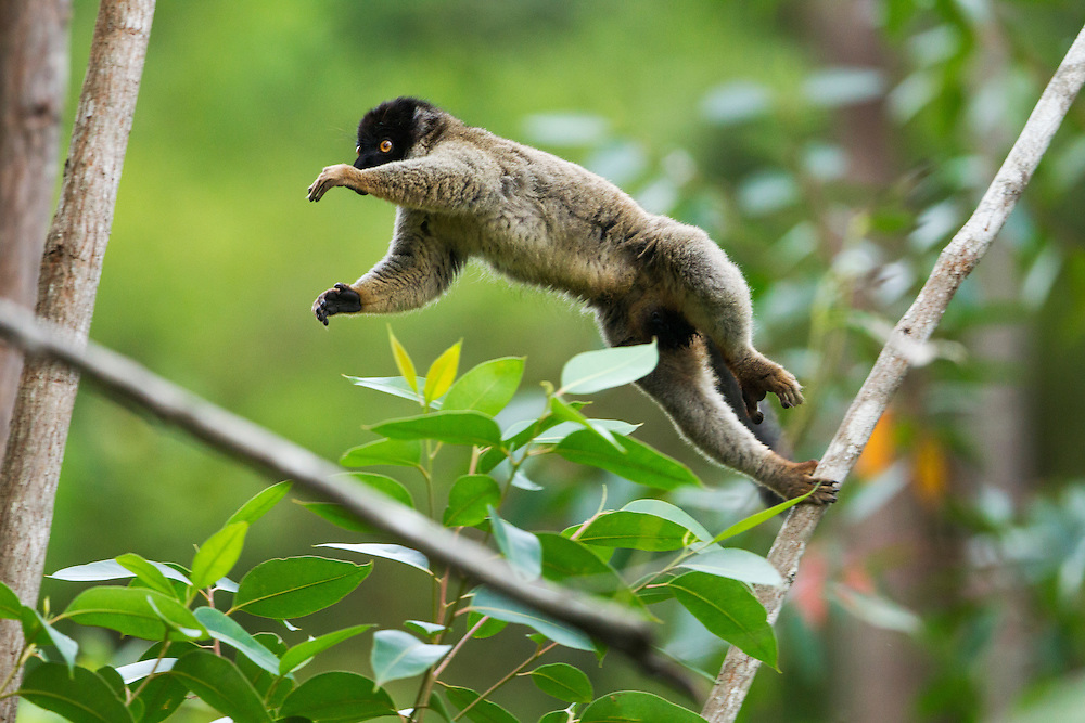 Madagascar, Andasibe-Mantadia National Park, Common Brown Lemur (Eulemur fulvus) leaping between branches in forest