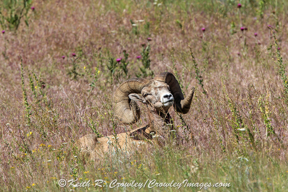 Mature Bighorn Sheep Ram Bedded in Open Habitat