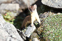We went hiking up to Rawson Lake in Kananaskis Provincial Park. It's a beautiful hike to an even more beautiful lake!  We came across this cute little furry critter and had an exciting game of hide and seek with it for about 10 minutes.  The Weasel kept runnin off into the rocks, and then creeping back to investigate me.  It was lots of fun!..©2010, Sean Phillips.http://www.RiverwoodPhotography.com