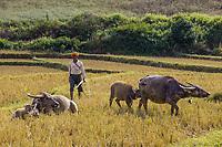 KALAW, MYANMAR - DECEMBER 07, 2016 : farmer and Bufallos of the Shan state in Myanmar (Burma)