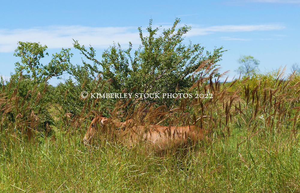 A young cow hides in cane grass by the roadside near Fitzroy Crossing.