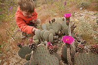 A 4 year-old boy looking at Beavertail Cactus (Opuntia basilaris) in the desert.
