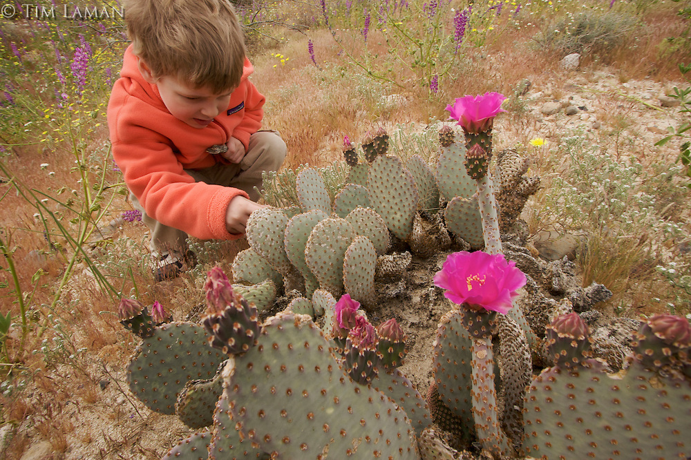 A 4 year-old boy looking at Beavertail Cactus (Opuntia basilaris) in the desert.