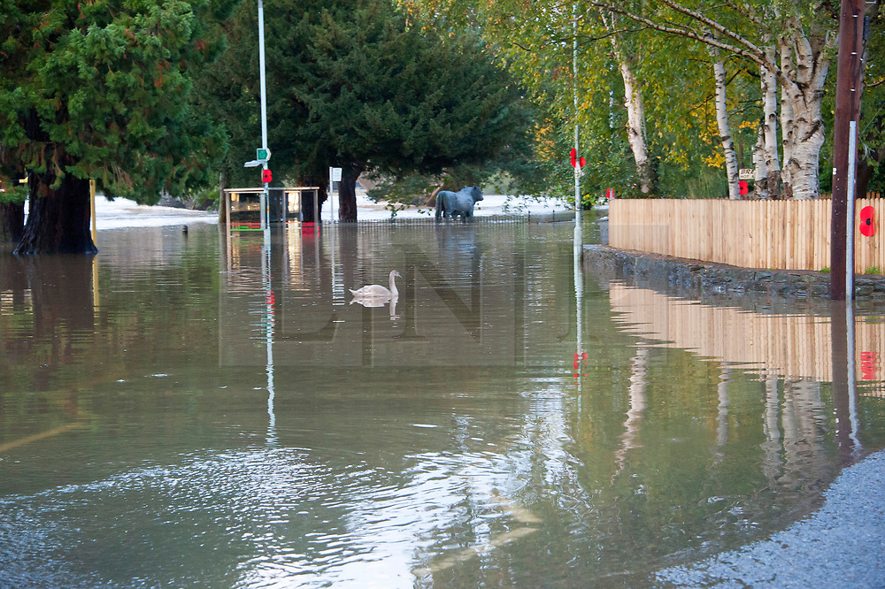 © Licensed to London News Pictures. 26/10/2019. Builth Wells, Powys, Wales, UK. A swan which has been in Builth Wells for a few weeks floats above the A483 road in Builth Wells in Powys, UK. Following very heavy rainfall for several days, extremely high river levels of the River Wye and River Irfon, flood parts of the Welsh market town of Builth Wells in Powys, UK. causing damage to property. Photo credit: Graham M. Lawrence/LNP