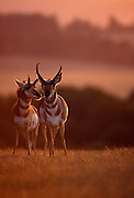 Female (left) and male pronghorn (Antilocapra americana) at sunset. Hart Mountain National Wildlife Refuge, Oregon.