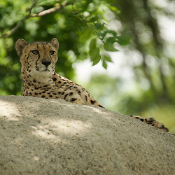Cheetah on a look out observing the surrounding.