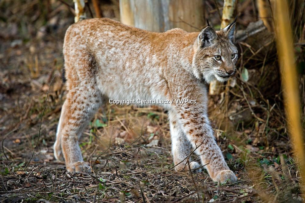 Siberian Lynx, lynx lynx wrangeli, Adult