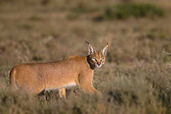 A shy caracal hunting in the early morning (Caracal caracal), Ndutu, Ngorongoro Conservation Area, Tanzania, Africa