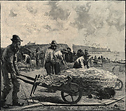Curing cod at Perce, Gulf of St Lawrence, 1884.