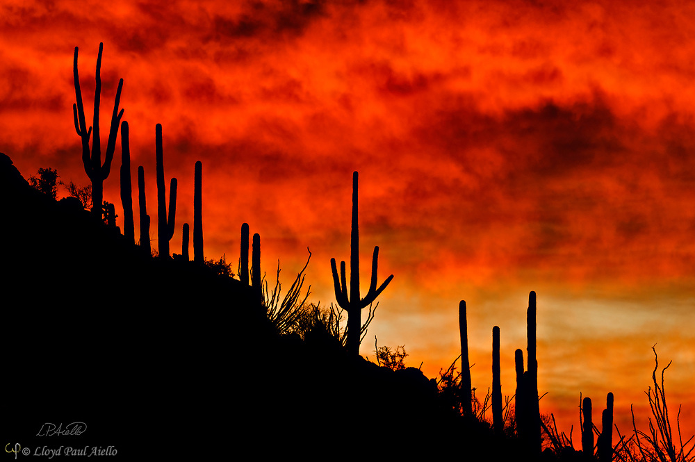Saguaro cactus (Carnegiea gigantea) stand tall near a hill summit, silhouetted as the sun sets in the Arizona desert.  The Saguaro cactus can grow 50-feet-tall, is composed of 85% water, and can weigh over 8 tons.  They are the largest member of the cactus family in the United States. Their skin is smooth and waxy with stout, 2-inch spines clustered on their ribs. The outer pulp can expand like an accordion when water is absorbed, increasing the diameter of the stem and raising its weight by up to a ton.  <br /> <br /> The Saguaro generally takes 47 to 67 years to attain a height of 6 feet, and can live for 150 &ndash; 200 years.  During that lifetime, a single cactus will produce 40 million seeds; however, in its harsh native environment, only one of these seeds will survive to replace the parent plant.  Indeed, young Saguaro&rsquo;s must start life under a tree or shrub to prevent them from desiccating.