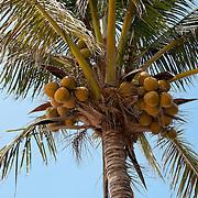 Coconut Palm, Cocos nucifera L.,, Xiao Liuqiu, Pingtung County, Taiwan
