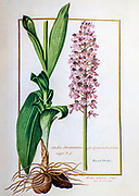 Orchis purpurea, the lady orchid 17th century hand painted on Parchment botany study of a from the Jardin du Roi botanical Florilegium of Prince Eugene of Savoy collection, Paris c. 1670 artist: Nicolas Robert