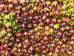 Boston Ivy Autumn Leaves, Full Frame