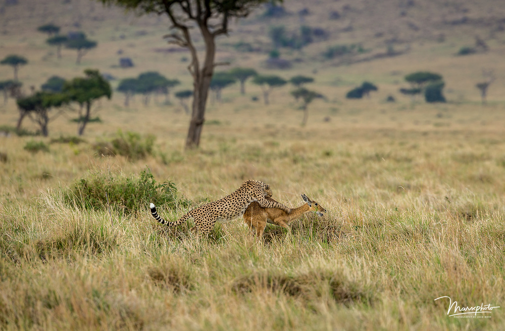 In September 2016 I visited the Mara Triangle in Kenya.  This was my first visit to East Africa.  I was amazed by the predatory activity surrounding the great migration of wildebeest.  But I was soon reminded that the great migration is so much more than wildebeest and this beautifull spectacle.  On an afternoon drive I came across a cheetah hunting Oribi as it was running towards the vehicle.  I only had a few moments to capture the scene, and because of the darker conditions and my shutter speed of 1/100,   the image resembled a slow shutter scene with the blurry paws of the cheetah on the Oribi.  I was very happy to see the typical Maasai Mara environment in the background, as some of the surrounding flora was included in the frame. A Selection of African land predators from countries including Kenya, Botswana, Namibia and South Africa.
