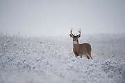 White-tailed Buck in snow, Western Montana