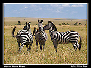 Three Zebra.Maasai Mara, Kenya.September 2012