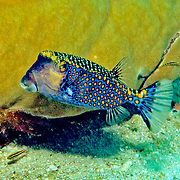 Spotted Boxfish inhabit reefs. Picture taken Fiji.