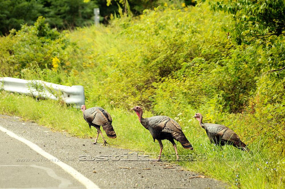 Turkey Birds on the road.