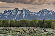 A herd of Elk migrate across Elk Flats with Mount Moran and the Grand Teton mountains at dusk at the Grand Teton National Park in Moran, Wyoming.