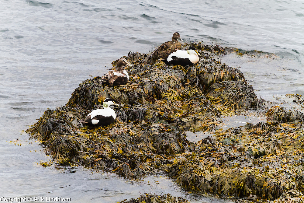 Eiders resting on a bed of bladderwrack by the port of Reykjavik, Iceland.