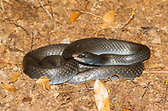 Black Racer (Coluber constrictor)<br /> United States: Alabama: Tuscaloosa Co.<br /> Moundville Archaeological Park; Moundville<br /> 22-Apr-2017<br /> J.C. Abbott #2937