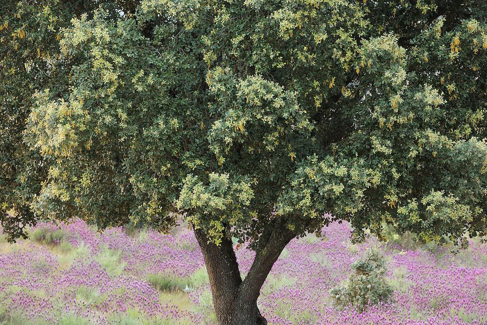 Dehesa forests with Holm oak (Quercus ilex)  and  French lavender (Lavandula stoechas) in Campanarios de Azába nature reserve, Salamanca Region, Castilla y León, Spain