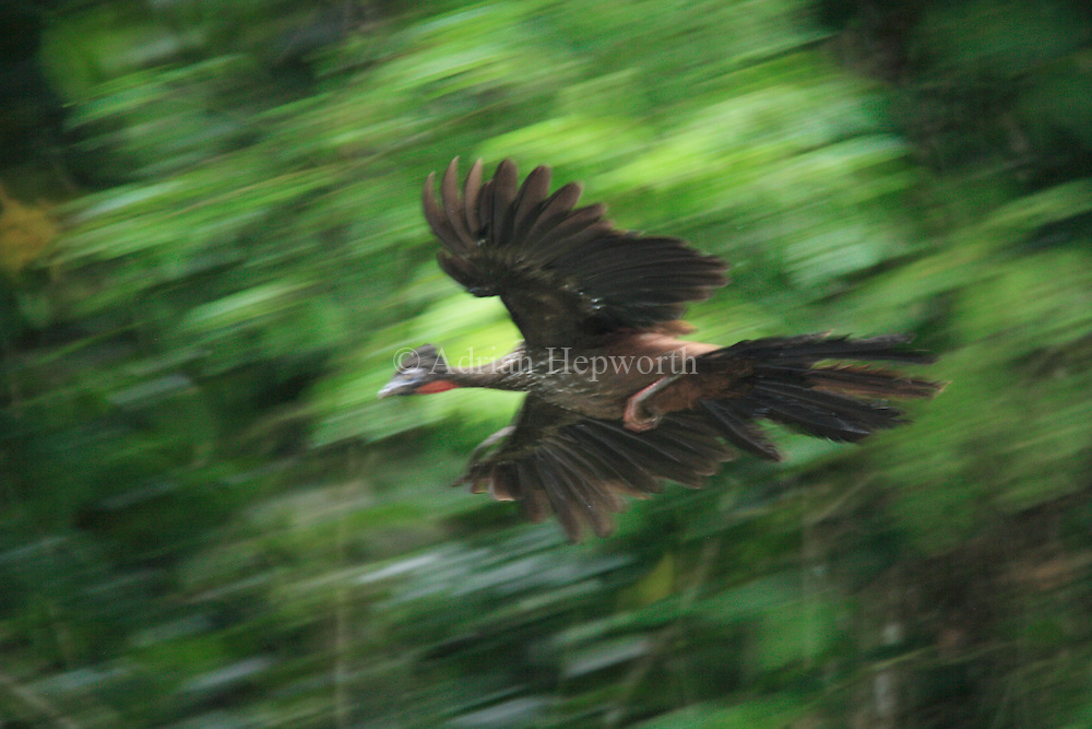 Crested Guan (Penelope purpurascens) flying through rainforest, La Selva Biological Station, Costa Rica. <br />
