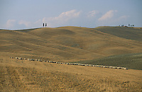 sheep andlandscape and cypresses near Siena, Tuscany - photograph by Owen Franken