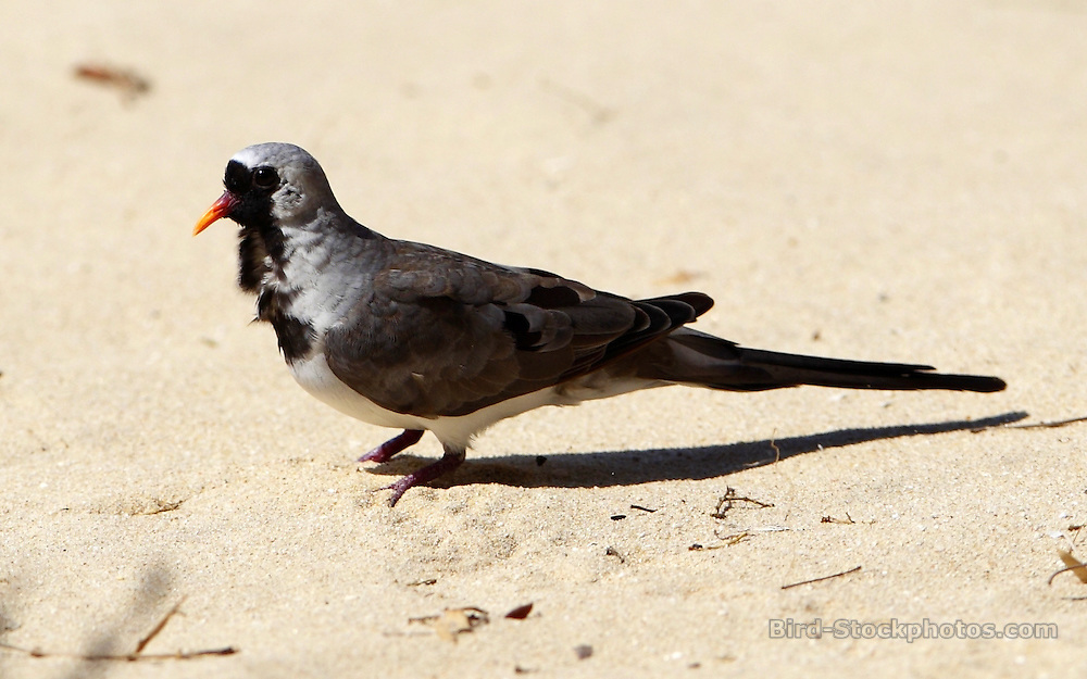 Namaqua Dove, Oena capensis, Madagascar, by Paul Ellis