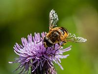 HALFWEG - insecten op de golfbaan , kleine bijvlieg Kegelbijvlieg niet uit te sluiten , Amsterdamse Golf Club. (AGC)  . Insecteninventarisatie  COPYRIGHT KOEN SUYK