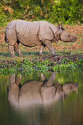 A side view of an Indian rhinoceros ( Rhinoceros unicornis ) reflected in a pool of water , Kaziranga National Park, Assam, India