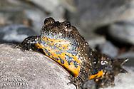 Sauneur à ventre jaune, Bombina variegata, Stara Planina, Central Balkan National Park