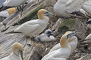Northern Gannet - Morus bassanus with a chick