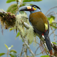 A jewel of Ecuador's high-elevation cloud forests is the spectacular Plate-billed Mountain Toucan (Andigena laminirostris). Unlike the more familiar toucans of lowland rainforests, these birds inhabit the coldest and wettest mountains of the Andes. Despite their predilection for these remote habitats, they are threatened by both habitat loss and capture for the pet trade.