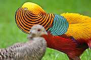 Golden Pheasant, male courting a female with a colorful display of feathers