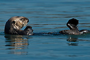 An adult male Sea Otter, Enhydra lutris , swims in Morro Bay, California.  The sea otter will wrap themselves in kelp to avoid being taken away by the out-going tide.  This photo was taken using a tripod and one on-camera flash, September 23, 2010.   (Photo by Aaron Schmidt © 2010)