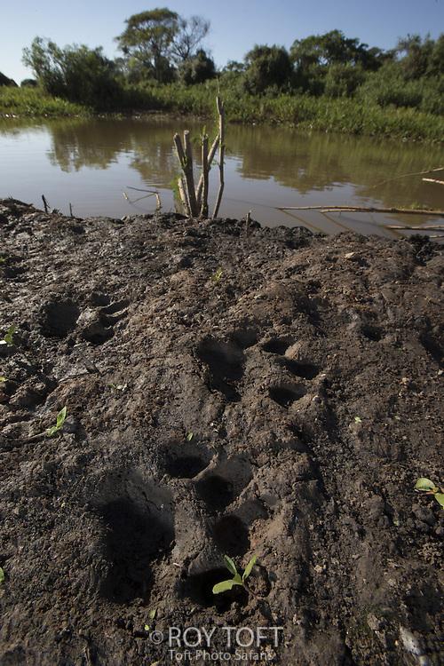 Jaguar (Panthera onca) foot prints, Pantanal, Brazil