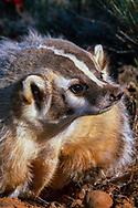 Badger portrait, [captive, controlled conditions] © 1999 David A. Ponton