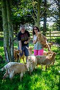 Golden Guernsey goats.