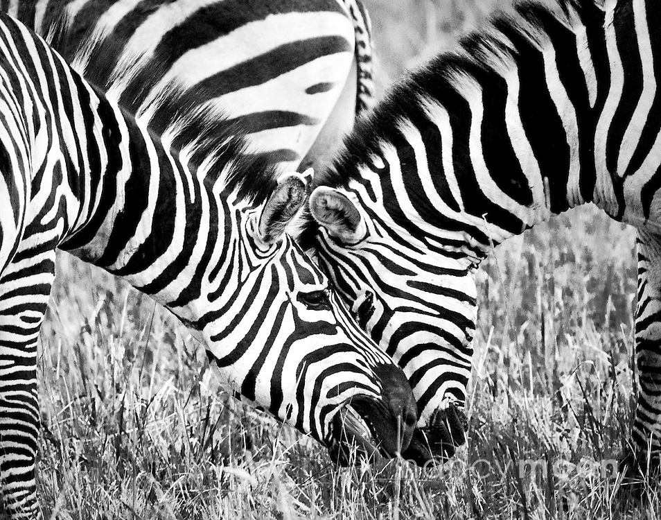 Playful zebra in Amboseli, Kenya.<br />