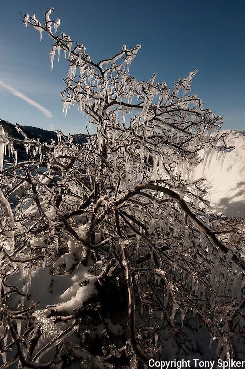 """""""Icy Tree 4"""" - A photograph of icicles hanging from a tree at Sand Harbor, on the Eastern Shore of Lake Tahoe"""