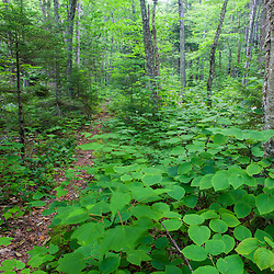 A trail along Cold Stream in Maine's Northern Forest. Cold Stream Gorge. Johnson Mountain Township.