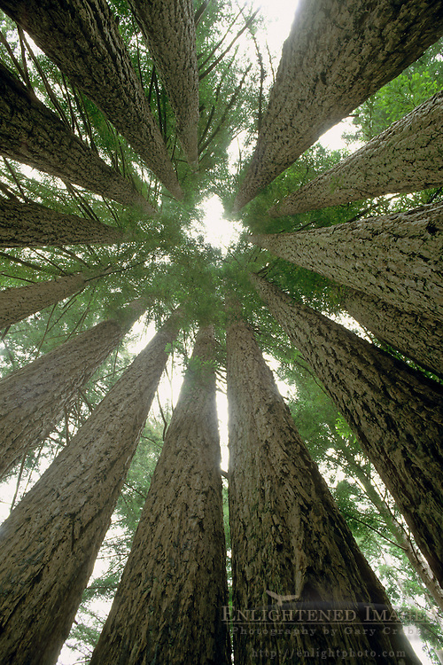 Inside the Goosepen, Coastal Redwood Trees growing in circle of trunks, near Gualala, Mendocino County, California