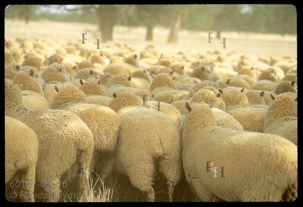 Seen from rear, flock of sheep forms a sea of wool on a farm in Coolamon, New South Wales. Australia