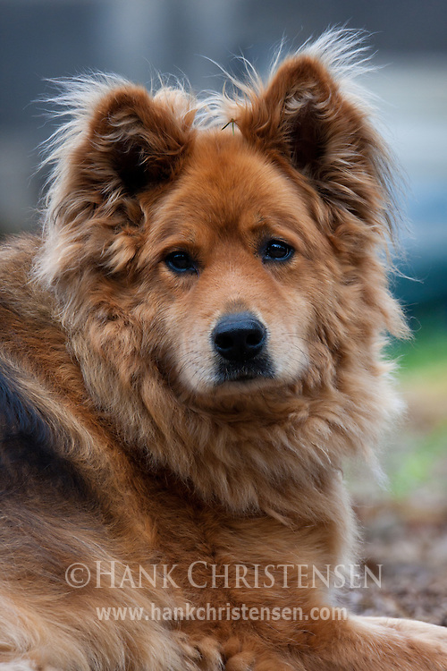 A German Shepherd/Chow mix poses for a portrait