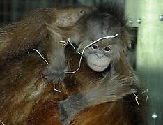 JAN 9 2013 Orangutan baby