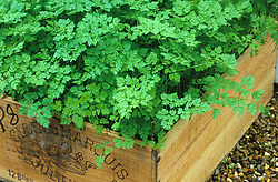 Chervil planted in old wooden wine box. Anthriscus cerefolium